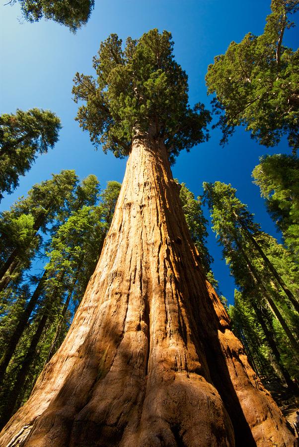 Sekvoje, nejvyšší stromy.