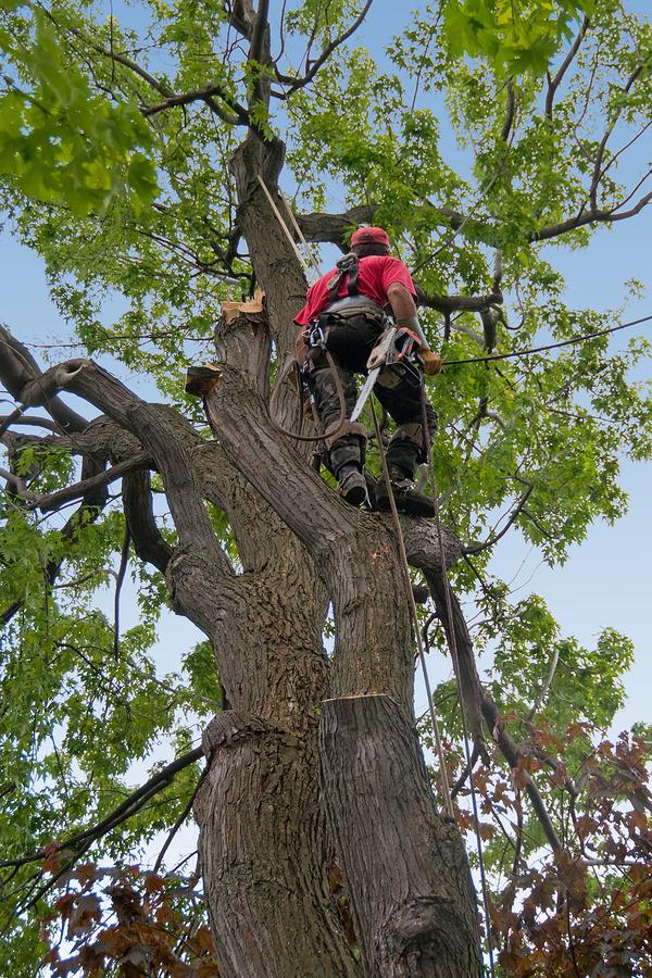 Kácení rizikových stromů