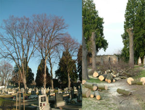 Kácení vzrostlích stromů na obecním hřbitově