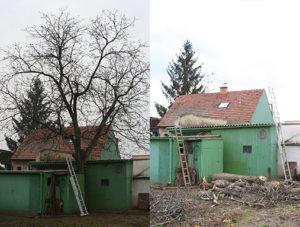 Kácení stromu zarostlého mezi přístavky